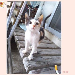 ◎かわいい三毛猫◎メス◎およそ2か月◎ - 猫