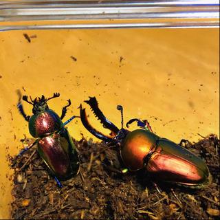 パプキン(レッド)🌸幼虫🌸3匹限定、1匹からでも可🍀