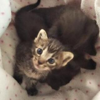 生後2週間の赤ちゃん猫です。