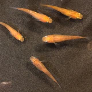 三色メダカの幼魚5匹譲り先を探しています