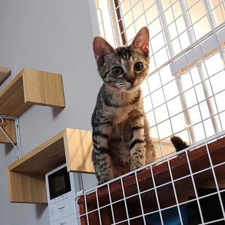 【募集停止】キジトラ子猫のきーちゃん
