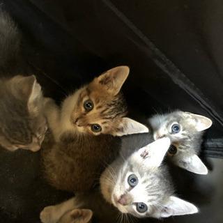 生後1ヶ月子猫里親さん募集 3匹います。 - 里親募集