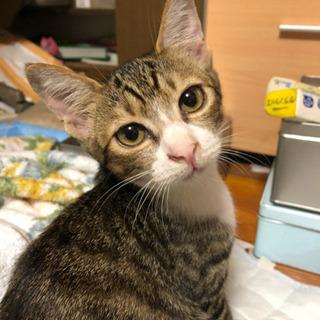 4ヶ月のキジトラ猫のメス子猫