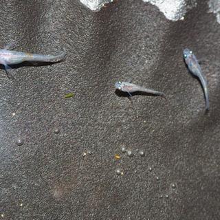 三色ラメ幹之の幼魚5匹お譲り致します