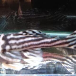 熱帯魚 インペリアルゼブラプレコ