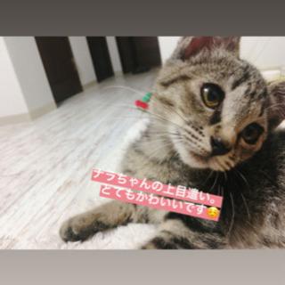 【急募!キジトラ2匹(3ヶ月)の里親さん募集!】フィガロ決定、ナラ検討中の方あり - 函館市