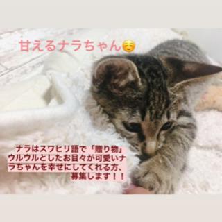 【急募!キジトラ2匹(3ヶ月)の里親さん募集!】フィガロ決定、ナラ検討中の方あり - 猫