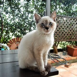 シャムミックスの子猫(生後2ヶ月くらい)9月6日に我が家には来た...