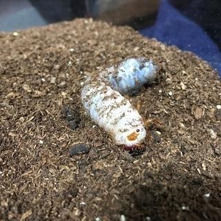 カブトムシの幼虫 差し上げます2