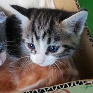 生後1ヶ月程の赤ちゃん猫4匹 - 茂原市