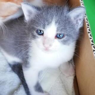 生後1ヶ月程の赤ちゃん猫4匹 − 千葉県