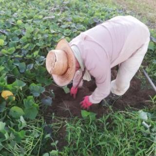 今年もやります!!サツマイモ収穫体験!!