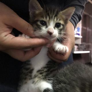 生後1ヶ月子猫の画像