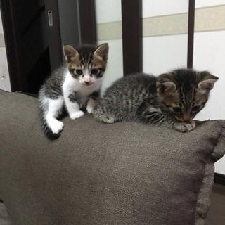 生後1ヶ月子猫 - 佐野市