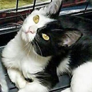 9月22日(日)の譲渡会にだします❤️全身タイツの兄弟猫4ヶ月の...
