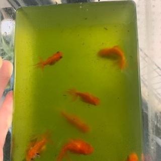 金魚:桜東錦の青仔(稚魚)1匹ずつ