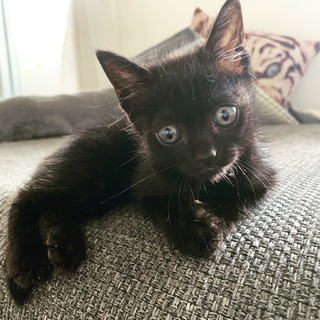 【決まりました】生後1ヶ月黒猫仔猫メス