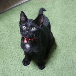 里親様が決まりました。つきのわぐまマーク。1ヶ月半くらいの黒猫ちゃん。