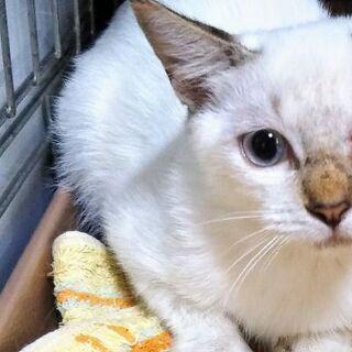 ケージに入れられたまま捨てられたシャムmix♀子猫