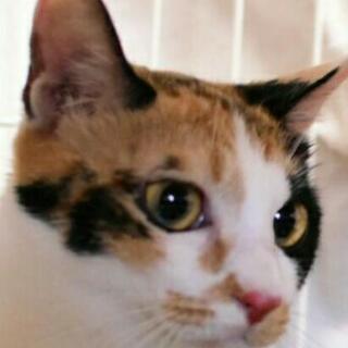 平成30年4月生まれ。可愛い❤おとなしい😳いじらしい😳三毛ちゃんです。