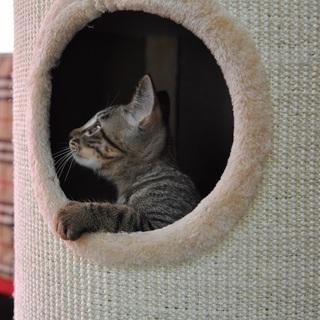 里親募集します 生後3か月キジトラ雄 - 猫