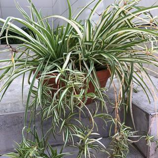 オリヅルラン+植木鉢