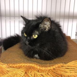 黒猫6歳♀大人しくて優しくて小柄でかわいいです!