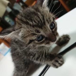 かわいいキジトラの子猫オスの兄弟です。