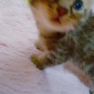 【 里親決定済 】A♦ 8月20日生まれ キジトラ オス 生後4週目      - 猫
