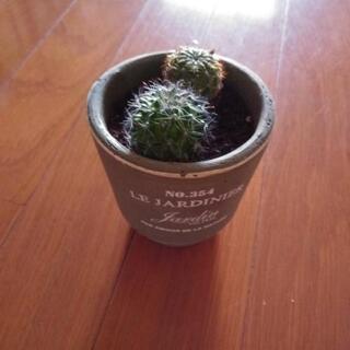 観葉植物 サボテン