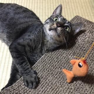 モデル体型の賢い美人猫☆キジトラの甘えんぼキキちゃん