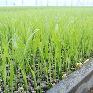 新米!! 茨城県産マンゲツモチ 玄米10kg [もち米]