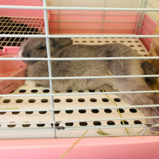 1歳7ヶ月のミニウサギ(オス)