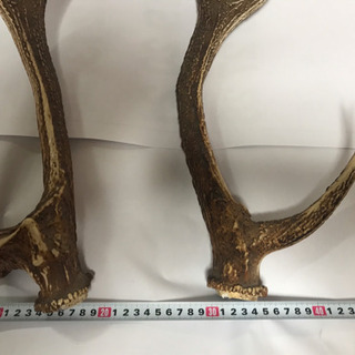 鹿の角  大型