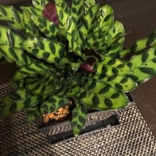 観葉植物 ガラテア ラシンファリア?