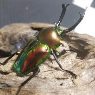 ニジイロクワガタ 幼虫 2匹セット!