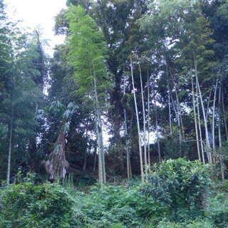 無料☆竹林で、お好きに伐採してください。創作などにどうぞ。特権あり!