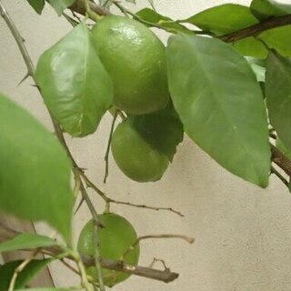 挿し木用 レモンの木の枝