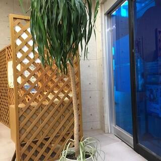 ★お取引中☆大型の観葉植物