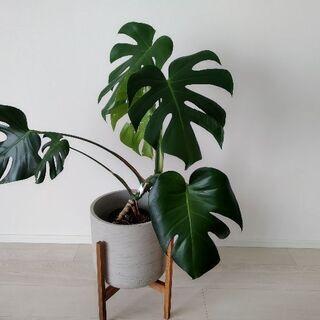 観葉植物(モンステラ)と鉢のセット
