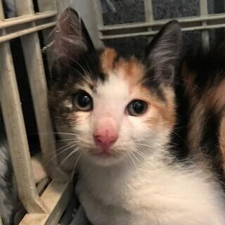子猫三毛猫1.5ヵ月