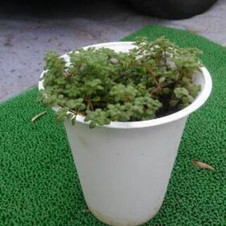 多肉植物 2種 2鉢
