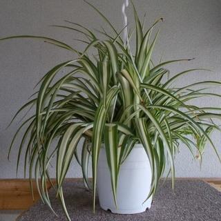 観葉植物オリズルラン