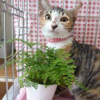 三毛猫メス 3ヶ月