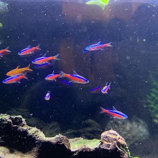 アクアリウム 熱帯魚 3種13匹