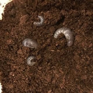 カブトムシの幼虫をお譲りいたします