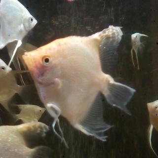 熱帯魚 ゴールデンエンゼル 差し上げます