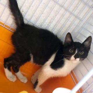 沖縄で保護した、生後5カ月のオスの子猫です!