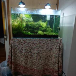 本日即決1万円‼️コトブキ水槽、グッピー、シュリンプ‼️