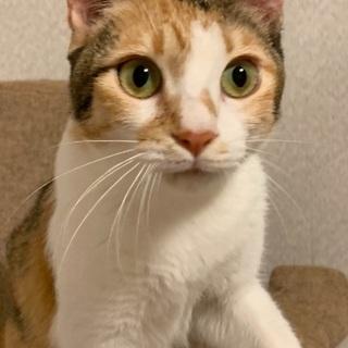 三毛猫 メス 一歳ほど